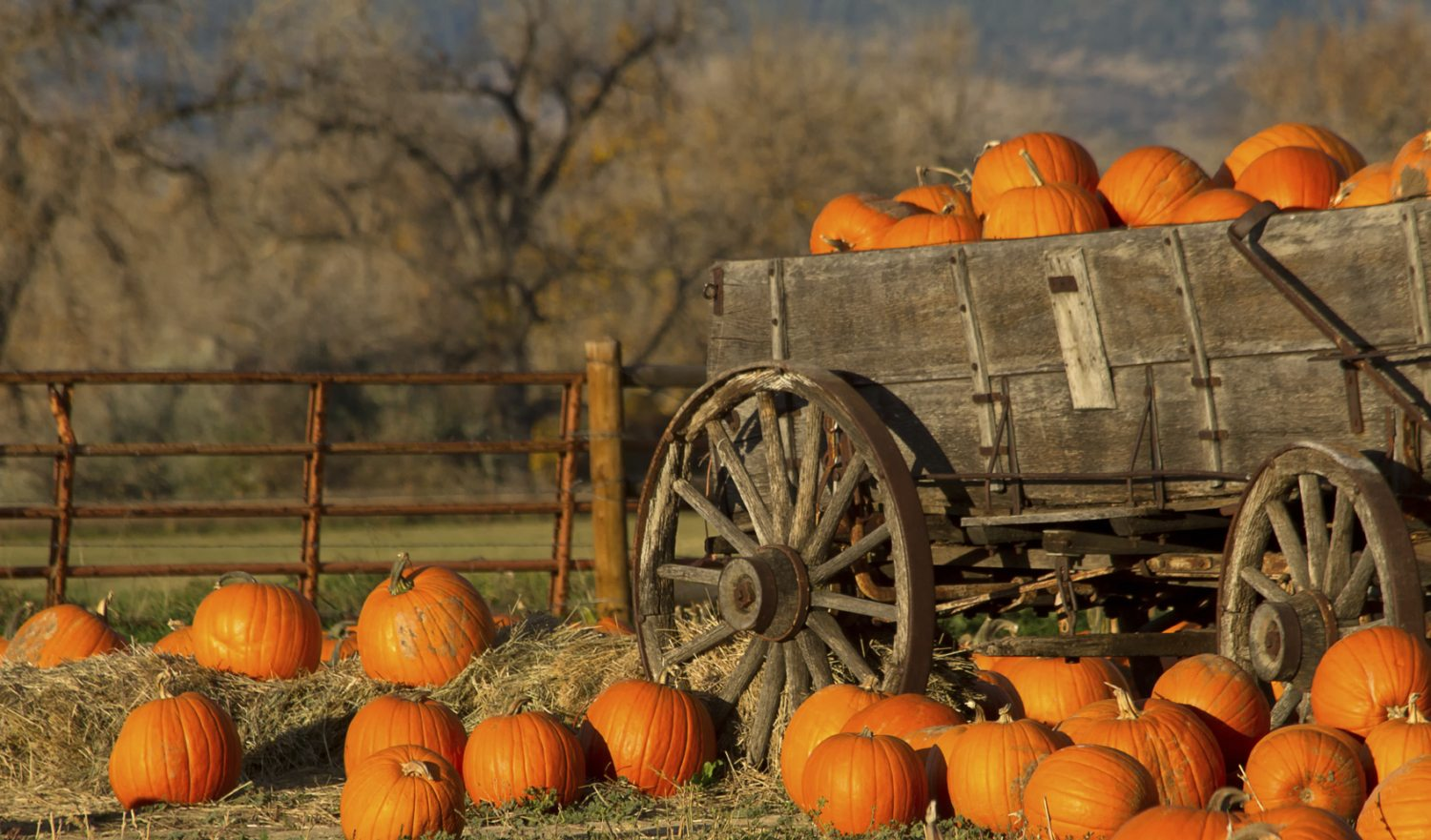 An old rustic cart filled with pumpkins on a fall day