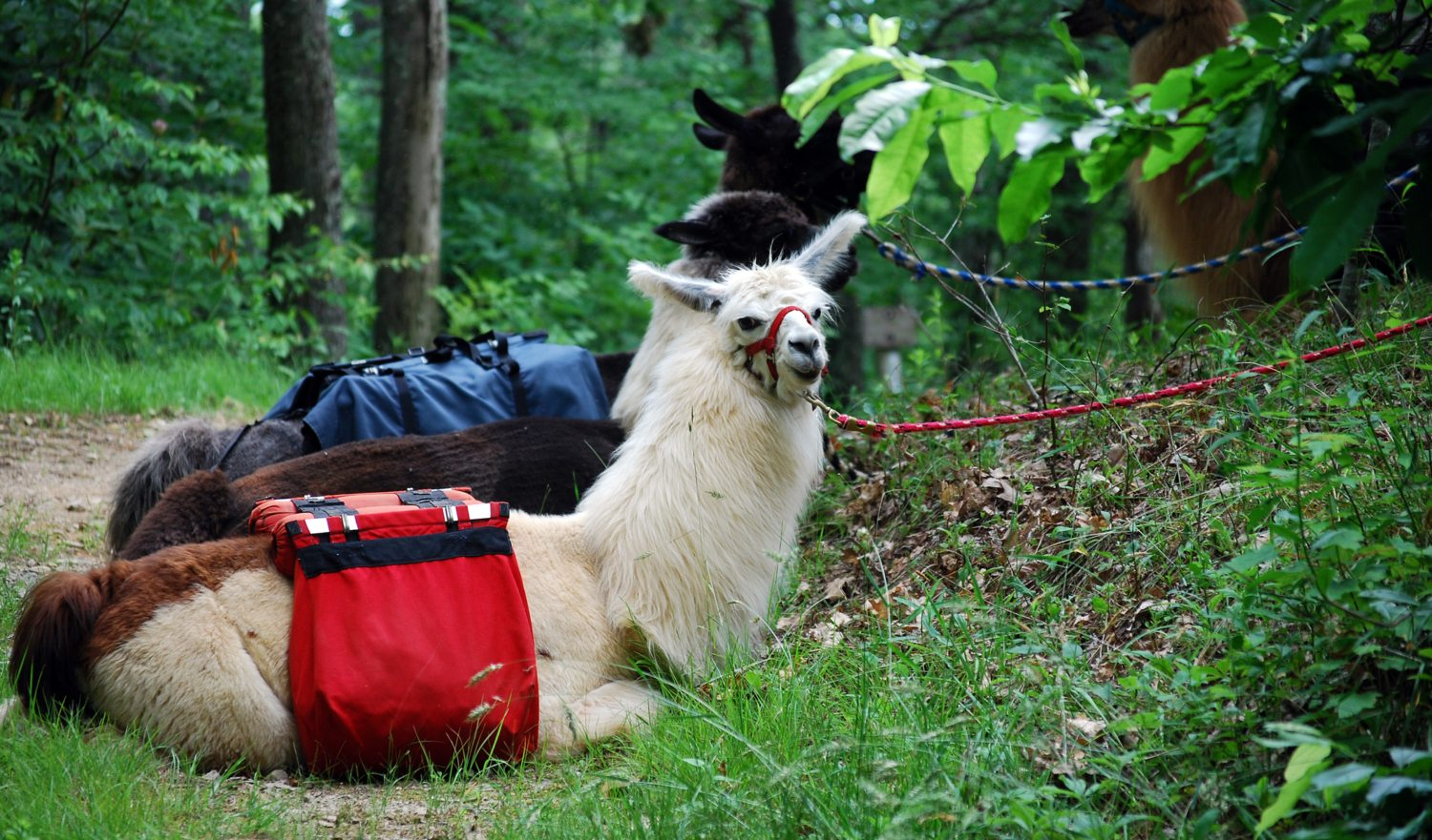 Three llamas wearing saddle bags. White llama in front in the focus.