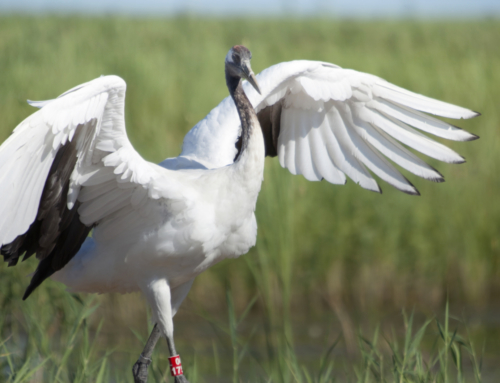 Celebrate the World's Oldest Bird at Yampa Valley Crane Festival