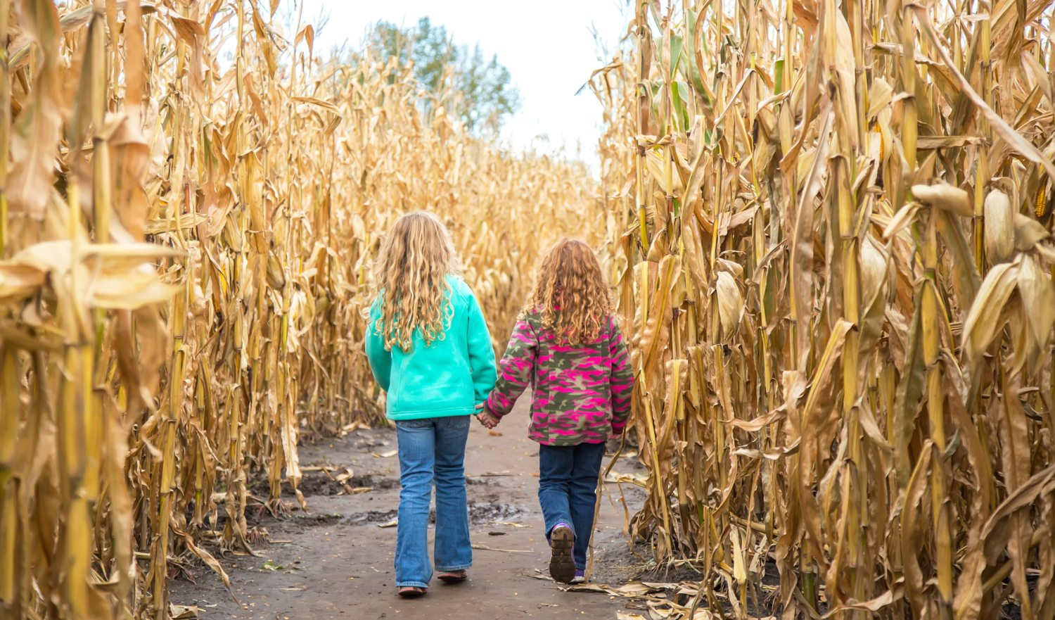 Rear view of two young girls (sisters) walking through a corn maze on a sunny autumn day. The older sister has curly blonde hair, and the younger sister has curly red hair. They are holding hands as they try to find their way through the maze. Both girls are wearing fleece jackets and denim blue jeans on this cool day in Minnesota, USA.